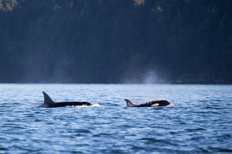 Orcas -  073115-703.jpg