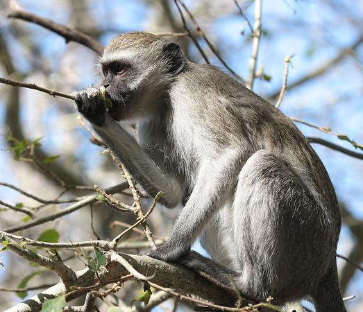 Vervet Monkey Botswana 2008 2010