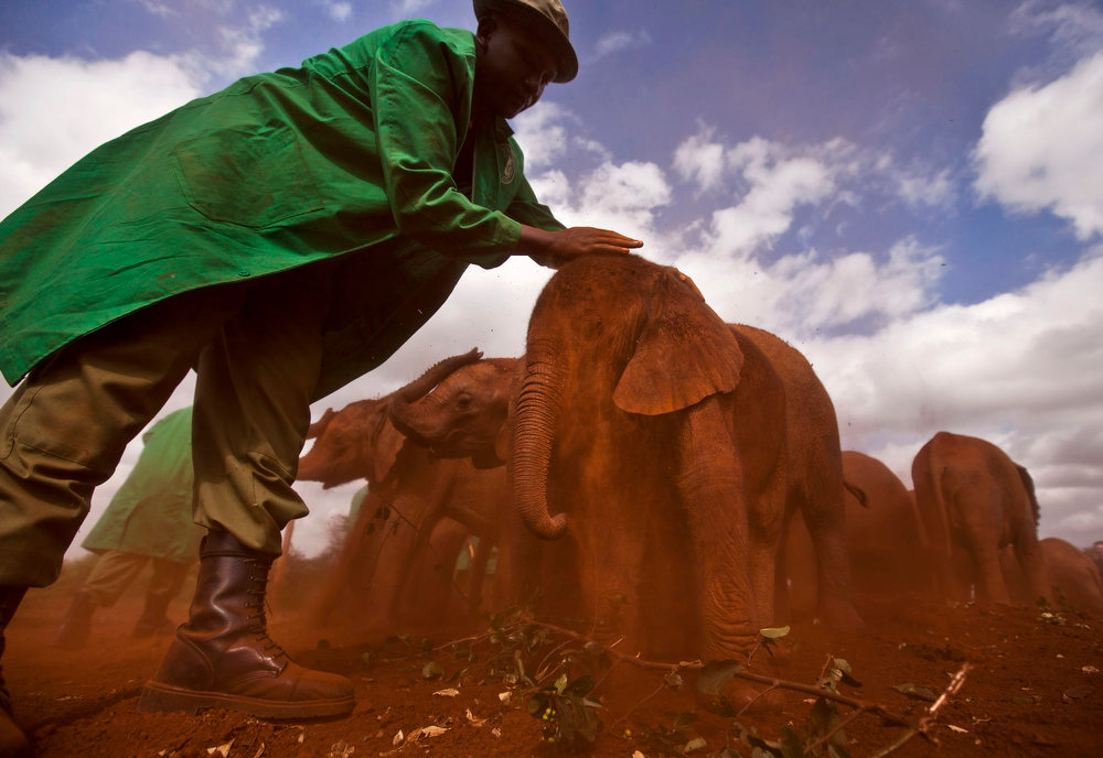 . Two-month-old orphaned baby elephant Ajabu is given a dust-bath in the red earth after being fed milk from a bottle by a keeper, as she is too young to do it herself, at an event to mark World Environment Day at the David Sheldrick Wildlife Trust Elephant Orphanage in Nairobi, Kenya, Wednesday, June 5, 2013. Trust founder Daphne Sheldrick said at the event, which was attended by U.S. Ambassador to Kenya Robert Godec, that they are seeing an upsurge in orphaned elephants because of the poaching crisis occurring across Africa. (AP Photo/Ben Curtis)