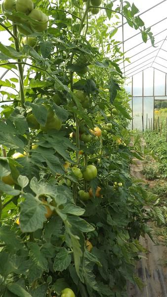 tomato plants 2 wj.jpg