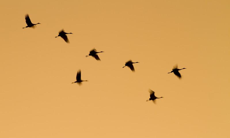 Sandhill Crane flock fly-in Crex Meadows Grantsburg WI IMG_0125.jpg
