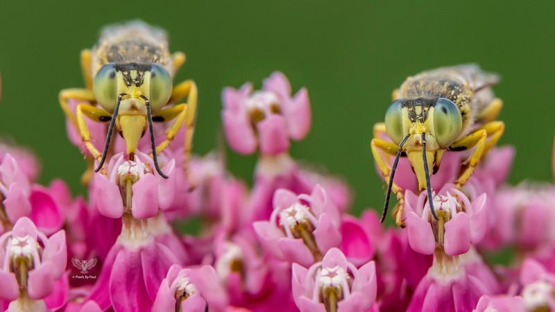 Western Sand Wasp (Bembix americana)