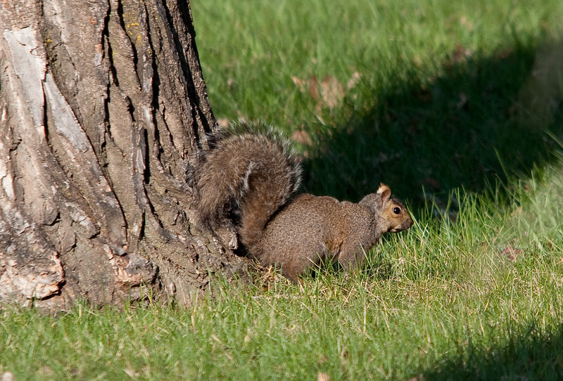 Squirrel - Eastern Gray