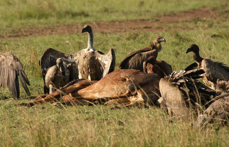 We came across this topi who had apparently died of natural causes as it did not appear to have been attacked. These vultures were the first to feast on it. They were pecking at it's eyes and trying to get inside throught the anus. This was one of the more disturbing things we saw.