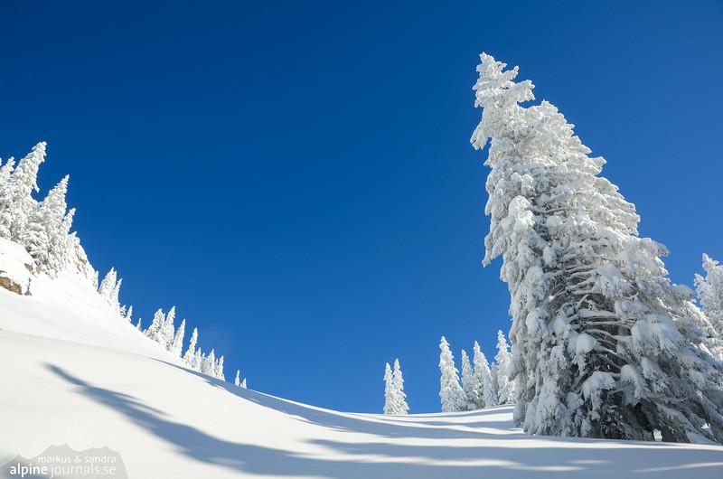 Majestic white trees