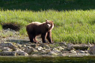 Brown Bear Cub June 2014, Cynthia Meyer, Chichagof Island, Alaska