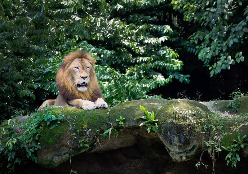 Lion, Singapore Zoo