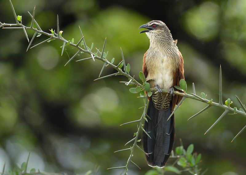 White-browed-coucal-1.jpg