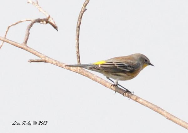 Yellow-rumped Warbler - 10/12/13 - Whelan Lake
