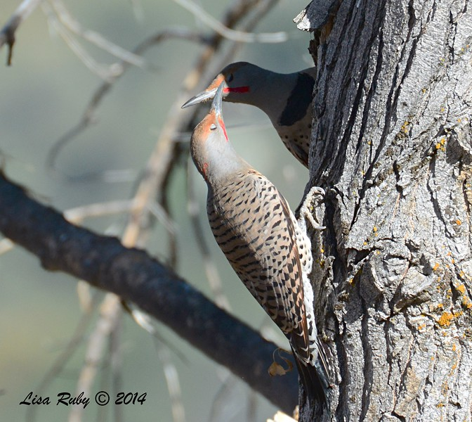 Northern Flickers having a tiff  - 10/14/2014 - Lake Cuyamaca