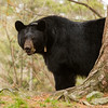 Image of Braveheart taken late April 2012.  Braveheart was born in 2002. Ursus americanus (American Black Bear).