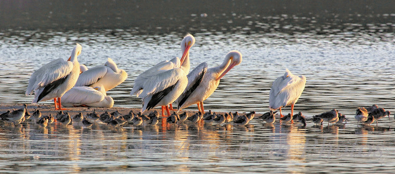 White Pelicans on Sanibel Island