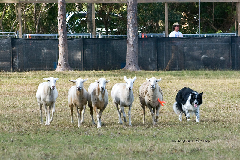 #502 - Molliann, a Border Collie, qualified on the HRD II course.  She is owned by Jerry & Kathy Knee.