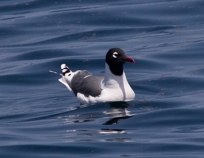 Franklin`s Gull San Diego Waters 2011 05 06-3.CR2