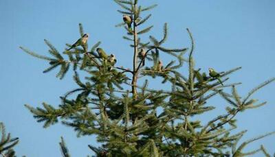 Wild Quaker Parrots Need Help! 2006 - Current