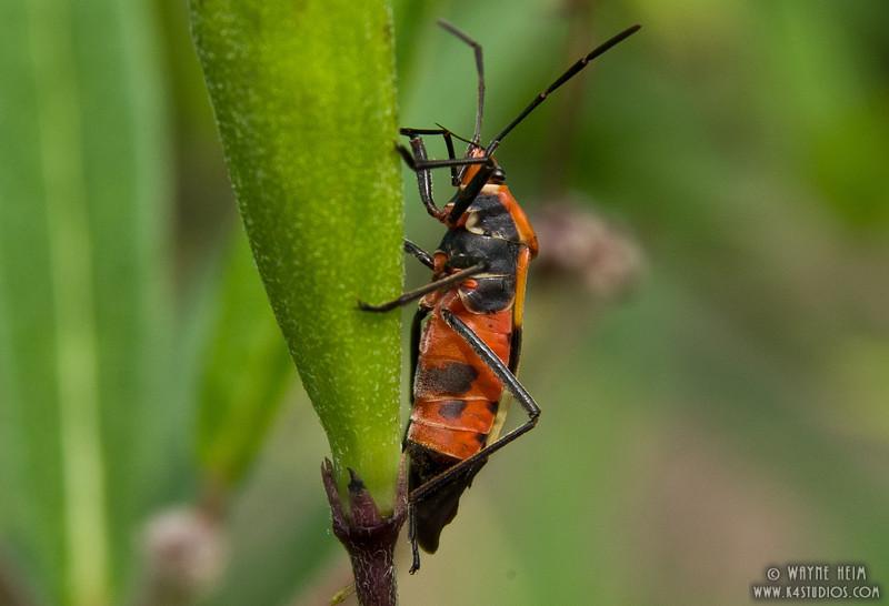 Milkweed Bug   Photography by Wayne Heim