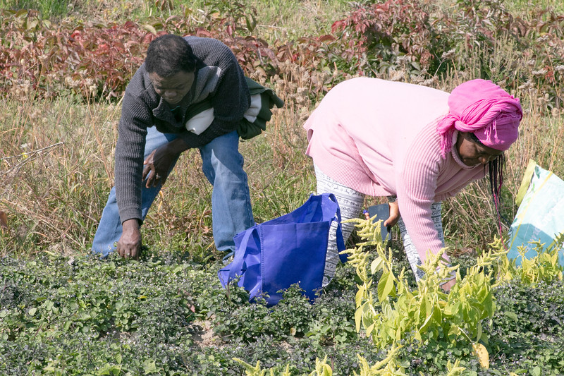 Labah Nformi and his wife Pascalin Labah of Fitchburg work on picking huckleberries in their community garden at Sholan Farms in Leominster on Wednesday morning. SENTINEL & ENTERPRISE/JOHN LOVE