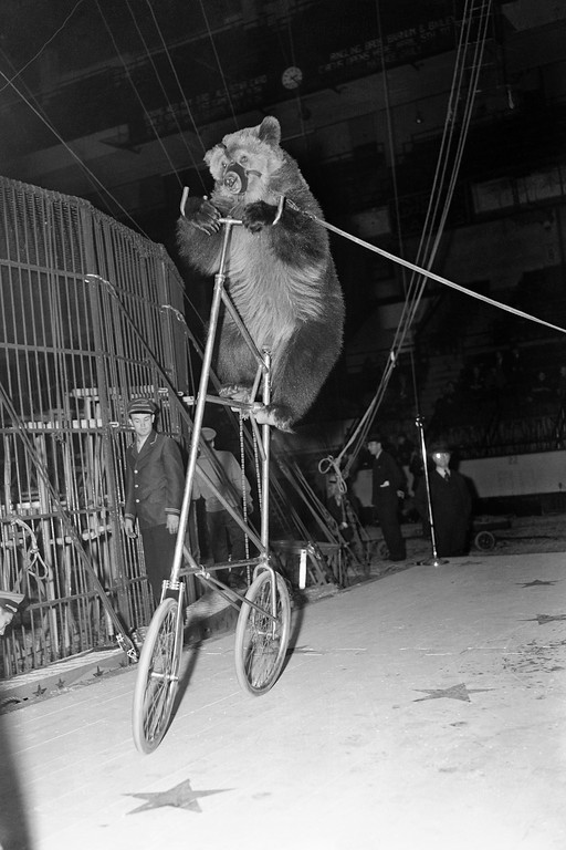 ". Circus bear ""Fritz\"" seems none too pleased with his predicament as he pedals his \""high strung\"" bicycle around at the opening of the Ringling Brothers and Barnum & Bailey Circus at Madison Square Garden, New York, April 5, 1939. (AP Photo/Tom Sande)"