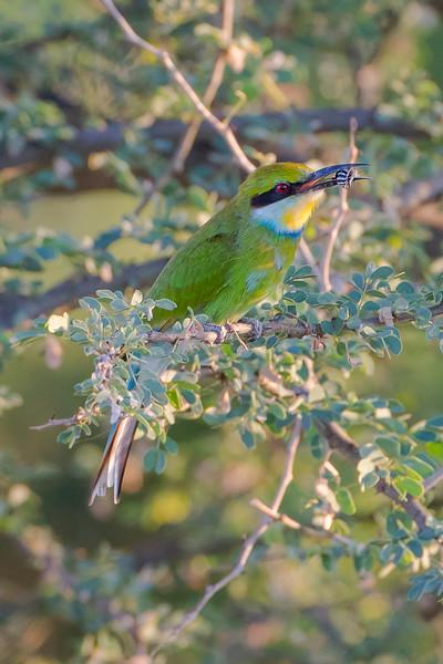 Swallow-tailed Bee-eater (Merops hirundines)