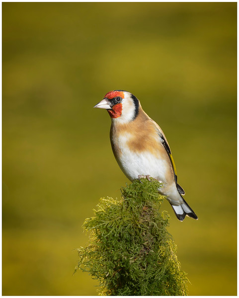 Goldfinch 12.1.jpg