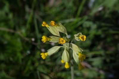 Primevères (Primula)