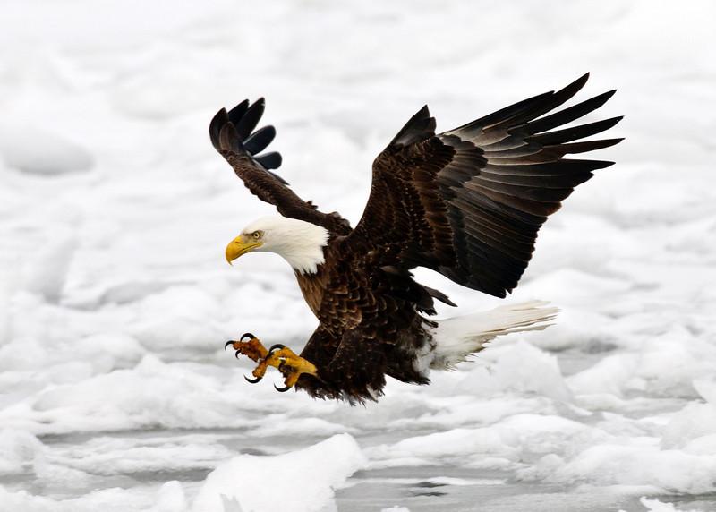 _DSC2173_1980 Bald Eagle.jpg