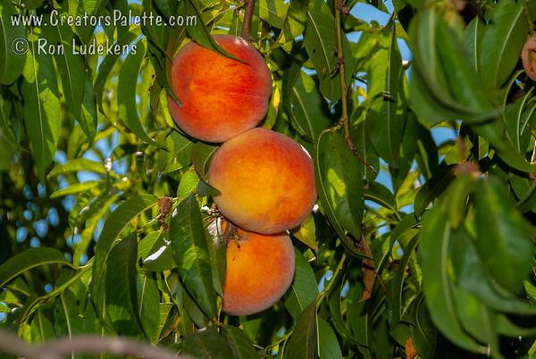 Forty Niner Peach - Prunus persica sp.