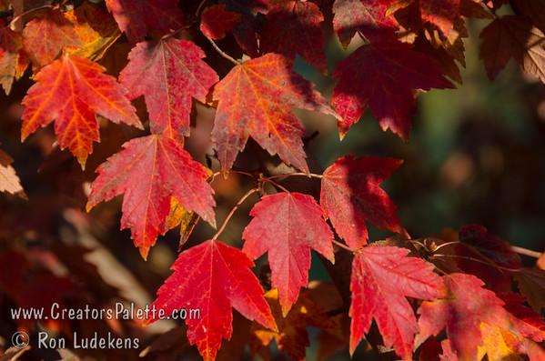 Acer rubrum 'Sun Valley' (Sun Valley Maple)