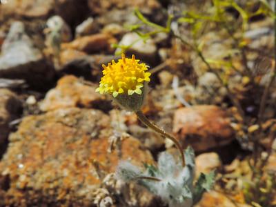 Yellowdome (Trichoptilium incisum)