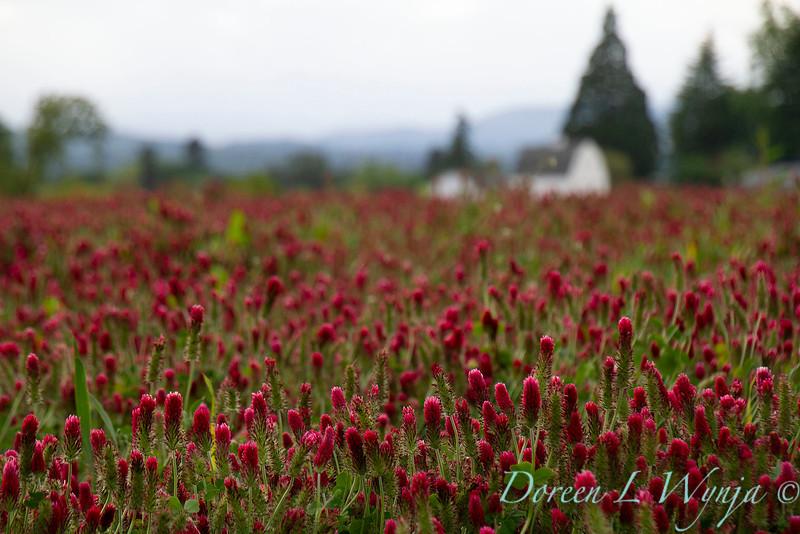Red clover_1891.jpg