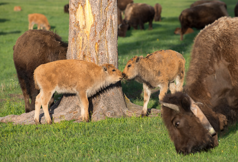 Bison Baby Love