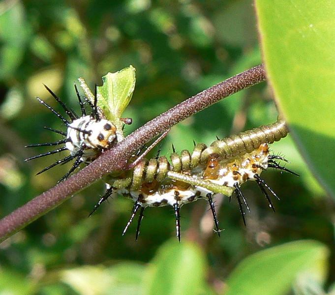DotMZebraHCAT&CorkyStPasV351 5-19-07   P1010351 Zebra Heliconian caterpillar on Corky-stem Passionvine