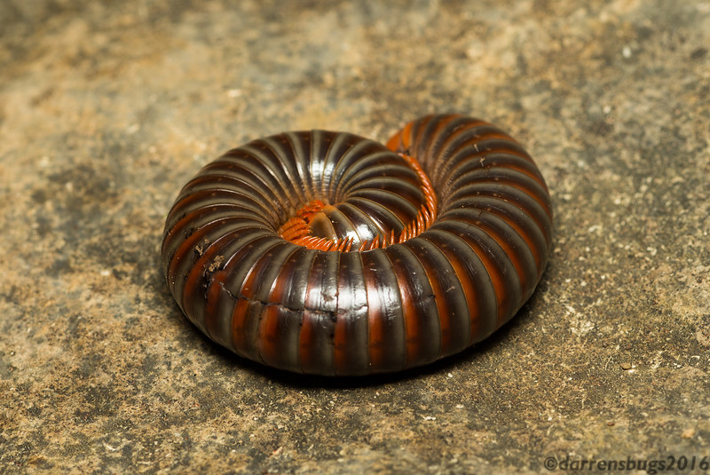 Millipede from Belize.