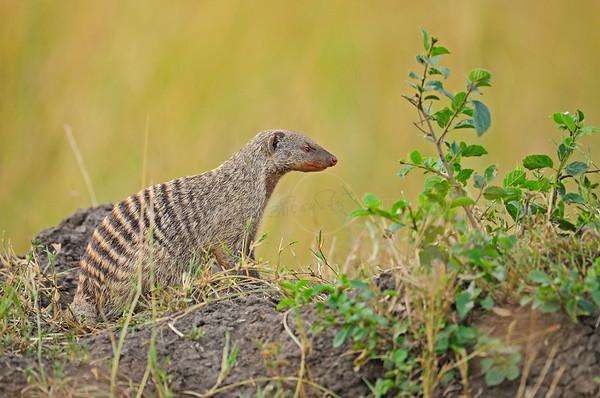 """""""Banded Mongoose masai mara"""""""