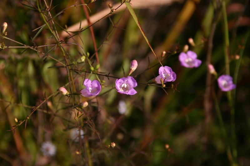 Agalinus purpurea 2.JPG
