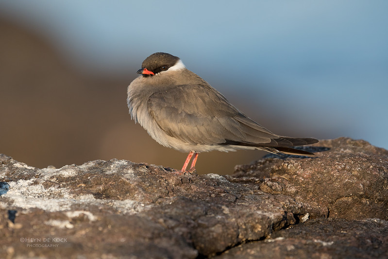 Rock Pratincole, Chobe River, NAM, Oct 2016-1.jpg