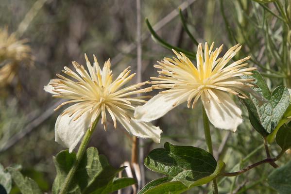Morton Peak Road - Wildflowers 4.21.13
