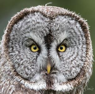Great Grey Owls of Jackson Hole