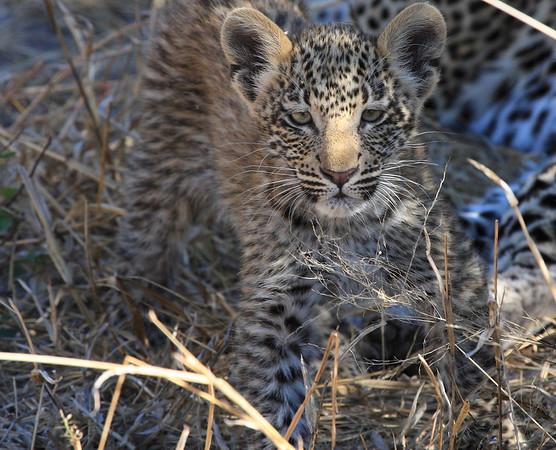Leopard Cubs Okavango Delta 2008 2011