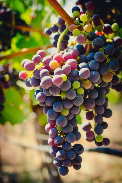 August_Grapes_1b.jpg