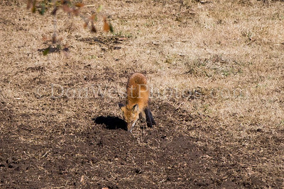 Caroland Farm Red Fox 2016