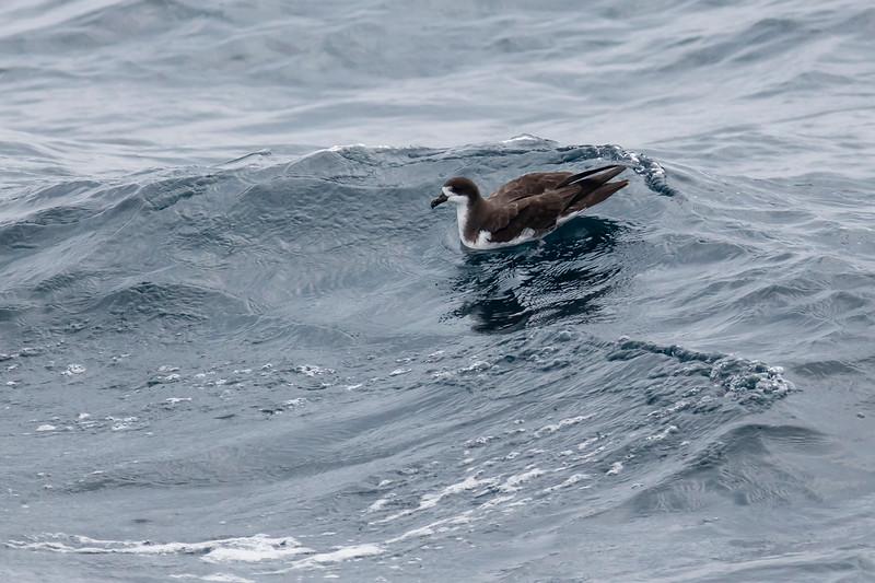 Galápagos Petrel