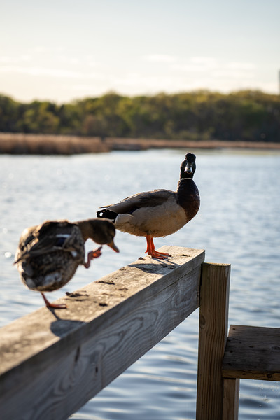 male mallard duck questioning the camera