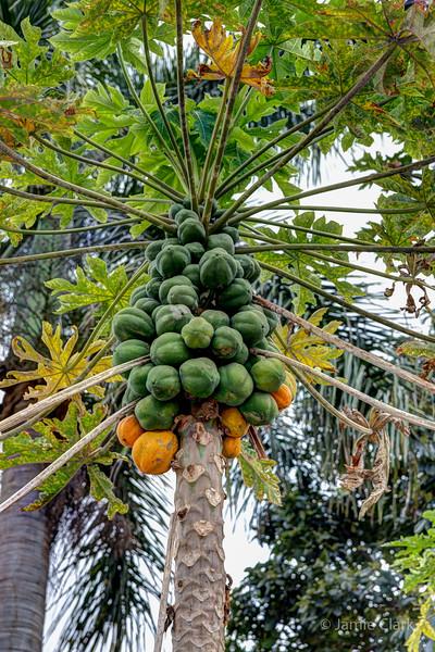 Papaya! @ Coffee Farms @ Kona Side of the Big Island, Hawaii, April 2016