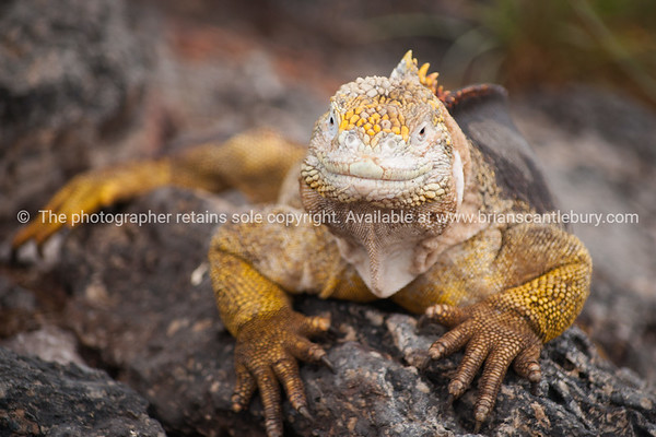 """Wildlife, landforms & landscapes of the Galapagos Islands.<br /> <br /> The Galapagos Land Iguana (Conolophus subcristatus)<br />  Photos, prints & downloads SEE ALSO:  <a href=""""http://www.blurb.com/b/3551540-galapagos-islands"""">http://www.blurb.com/b/3551540-galapagos-islands</a>"""