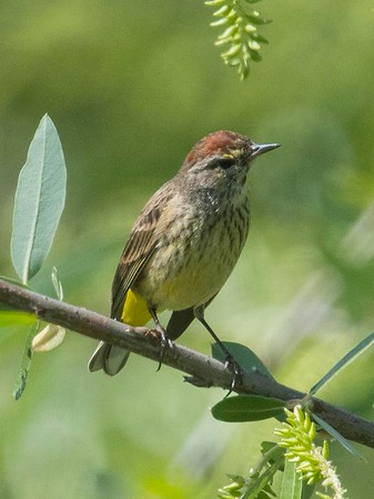 Palm Warbler and White-collared Seedeater 3-20-18, 3-25-18 Dairymart Ponds