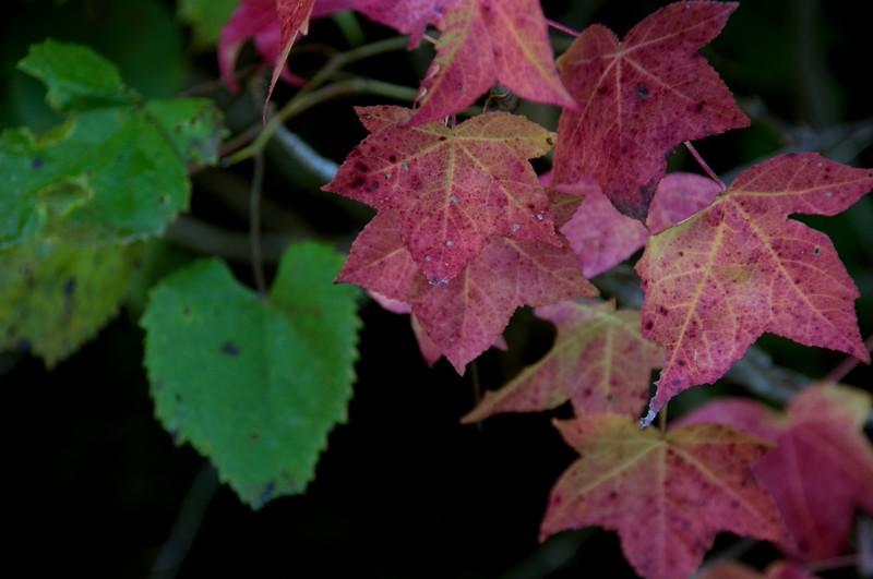 Muscatatuck red leaves.jpg