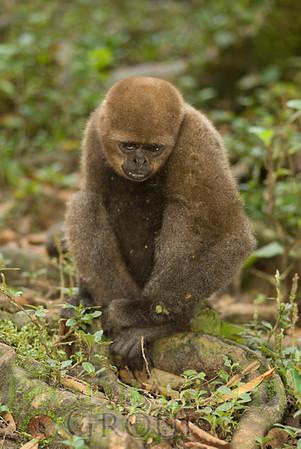 Primates (Primates)