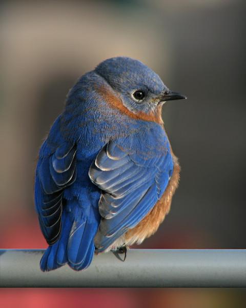 bluebird_2647.jpg