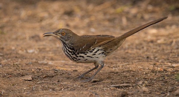 Long-billed Thrasher LL_DWL0030.jpg